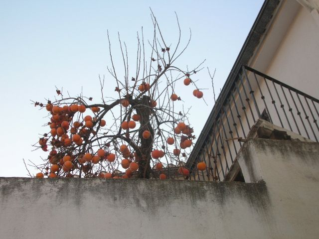 Arbol del membrillo fotos de paisajes - Membrillo arbol ...