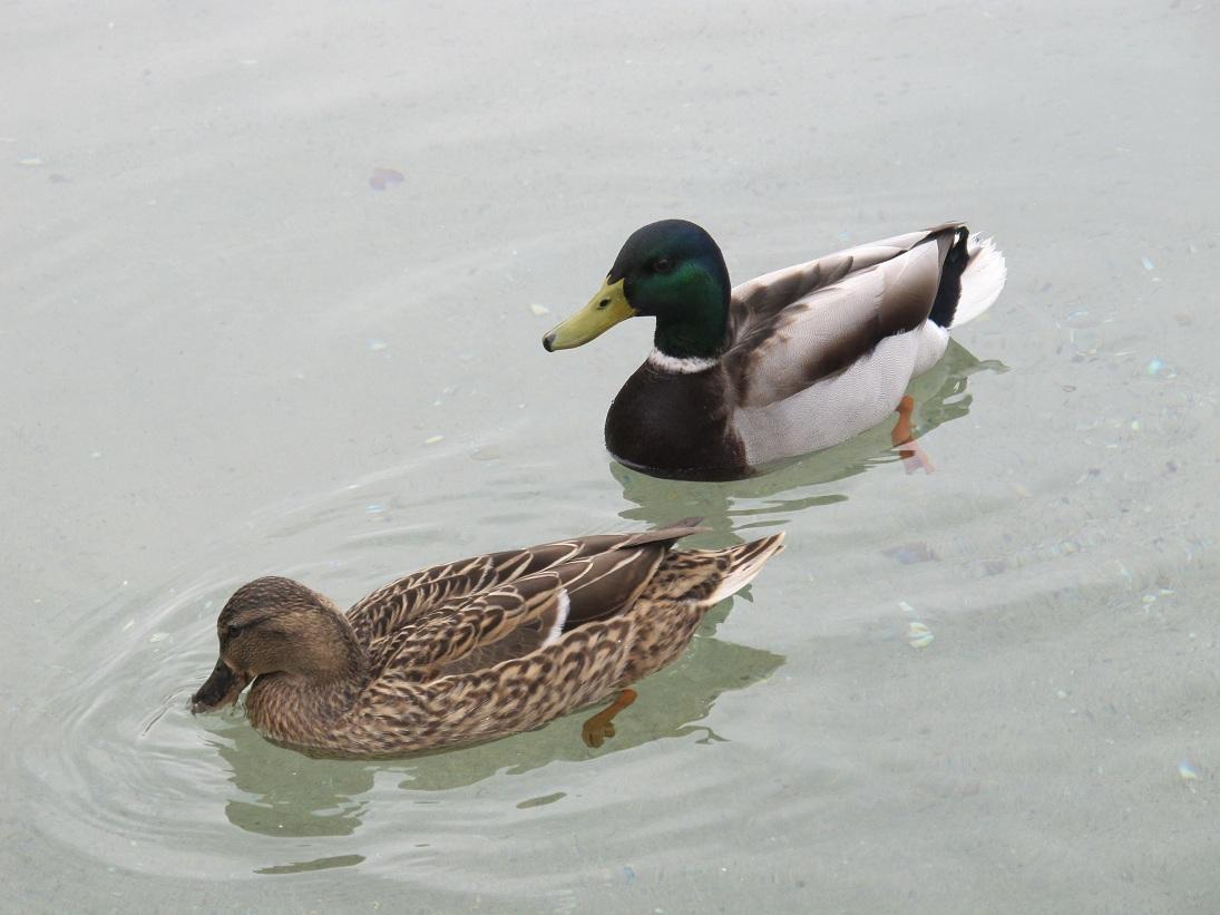 Detalle de la pareja de patos residentes en el estanque de for Estanques para patos prefabricados