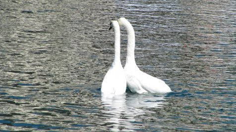 El vals de los cisnes