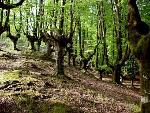 Bosque de hayas en Primavera