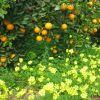 Nuestros campos en estos momentos...Los naranjos y la alfombra de  las flores que acompañan a los naranjos..