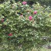 rosaleda,en karranza