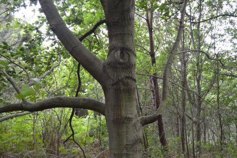 el ciclopo del bosque